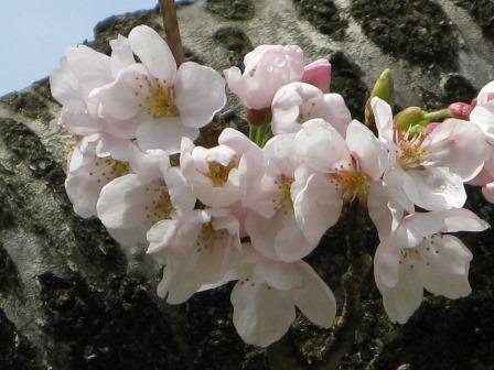 1349yamazakura3_2